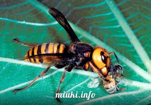 Судзумэбати воробей-пчела (огромный японский шершень)